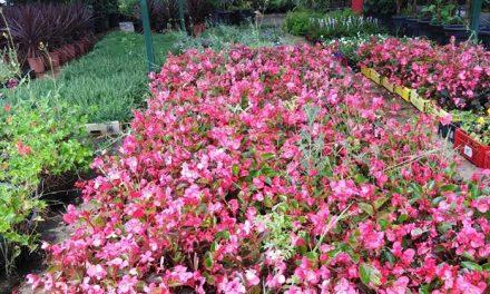 La concejalía de Agricultura y Medio Ambiente informa que, en plena estación primaveral, continúan los trabajos de reposición de plantas para el embellecimiento de zonas y espacios verdes